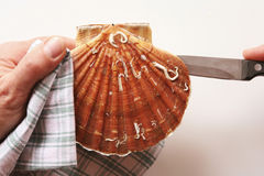 Opening a scallop Stock Photography