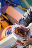 Opening Sea Urchins on the boatside Stock Image