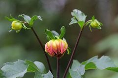 Opening Soon. Buds of a dahlia about to bloom Royalty Free Stock Photography