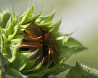 Opening Sunflower Bud - Helianthus annuus Royalty Free Stock Image
