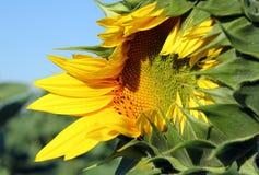 Summer background - opening sunflower closeup. Summer background - opening sunflower in the field against blue sky closeup royalty free stock photos