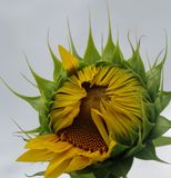 Opening Sunflower. Slowly blossoming Sunflower reaches for the sun Stock Photos