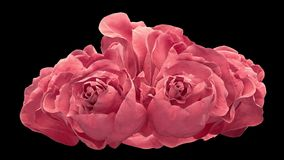Opening of two pink rose, blooming pink roses with alpha matte