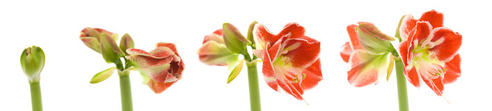 Opening variegated amaryllis Royalty Free Stock Images