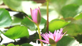 Opening of water lily ,lotus flower blooming stock video footage