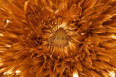 Opening xmas season. Golden chrysanthemum flower with the word, xmas, engraved on a glittering texture, that has been placed in the center of the bud, that can Royalty Free Stock Photography