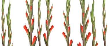 Openings gladiolispruiten stock fotografie
