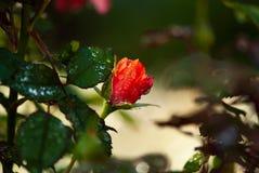 Openingsdauw Omvatte Rose Bud royalty-vrije stock fotografie