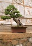 Openlucht bonsai Stock Afbeelding