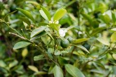 In openlucht geschoten van mandarijnboom stock fotografie