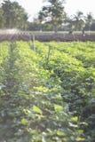 Openluchtfoto van bataatinstallaties op een gebied bataatgebied met rijen van installaties Selectieve nadruk Zonsondergangogenbli Stock Afbeelding