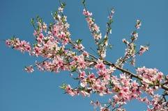 openning与精采红色的桃子开花 图库摄影