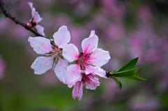 openning在春天的桃子开花 免版税图库摄影