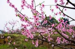 openning桃子的开花 库存图片