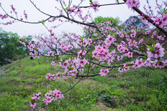 The openning peach blossom Stock Photos