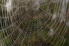 Openwork cobweb in dewdrops Stock Photography