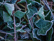 Openwork elegant ivy leaves are covered with white frost Stock Photo