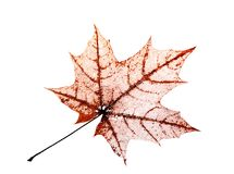Openwork translucent skeleton leaf of the maple on white backgro Royalty Free Stock Photos