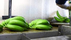 Operador que corta las ramas verdes del plátano en la industria de empaquetado del plátano almacen de metraje de vídeo
