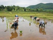 Operai nella risaia di riso Immagini Stock Libere da Diritti