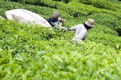 Operaio che raccoglie le foglie di tè fotografie stock