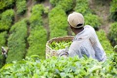 Operaio che raccoglie le foglie di tè Fotografia Stock Libera da Diritti