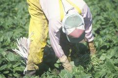 Operaio dell'agricoltore migrante Fotografia Stock