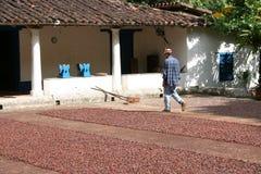 Operaio su un'azienda agricola del cacao Immagini Stock