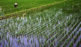 Operaio in un giacimento del riso Fotografia Stock