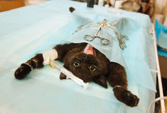 Before operation. Cat before operation in veterinary station under anaesthesia Stock Photo
