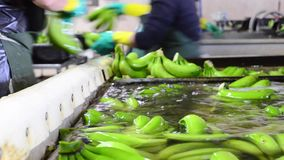 Operator washing bunches of banana at packaging plant. stock video