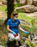 Operatore e due lemure catta - catta delle lemure immagini stock