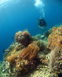 Operatore subacqueo con i bei coralli Immagine Stock