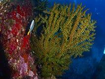 Operatore subacqueo con la scogliera caral immagine stock