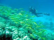 Operatore subacqueo con lo snapper Immagini Stock Libere da Diritti