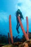 Operatore subacqueo della donna che indica indicatore luminoso alla spugna caraibica Fotografia Stock Libera da Diritti