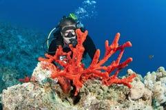 Operatore subacqueo di scuba dell'uomo e corallo rosso fotografia stock
