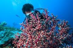 Operatore subacqueo e corallo molle immagine stock