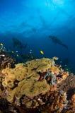 Operatore subacqueo e l'Indonesia di corallo Sulawesi Fotografia Stock