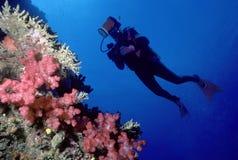 Operatore subacqueo e parete di corallo molle immagine stock libera da diritti