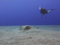 Operatore subacqueo e Stingray fotografia stock libera da diritti