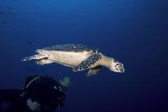 Operatore subacqueo e tartaruga di mare, St Lucia Fotografia Stock Libera da Diritti