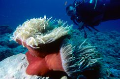 Operatore subacqueo ed Anemone Fotografia Stock