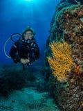 Operatore subacqueo femminile e gorgonian giallo, scogliera di Formiche immagine stock