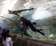 Operatori subacquei e squali Immagine Stock Libera da Diritti