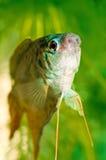 opercularis macropodus Стоковые Изображения