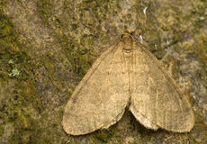 Operophtera. Gray moth on the bark of beech - masking, feathering in the background, hiding Royalty Free Stock Images