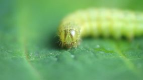 Operophterabrumata, macro op groen verlof stock footage