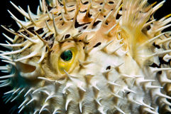 Opgeblazen Balloonfish Stock Foto's