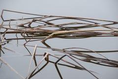 Opgedroogd wild gras in water royalty-vrije stock fotografie